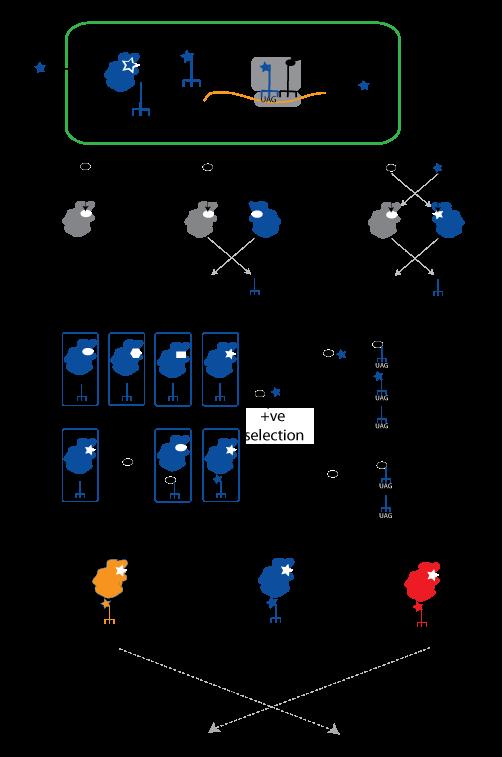 Unnatural Amino Acid Incorporation a an Unnatural Amino Acid