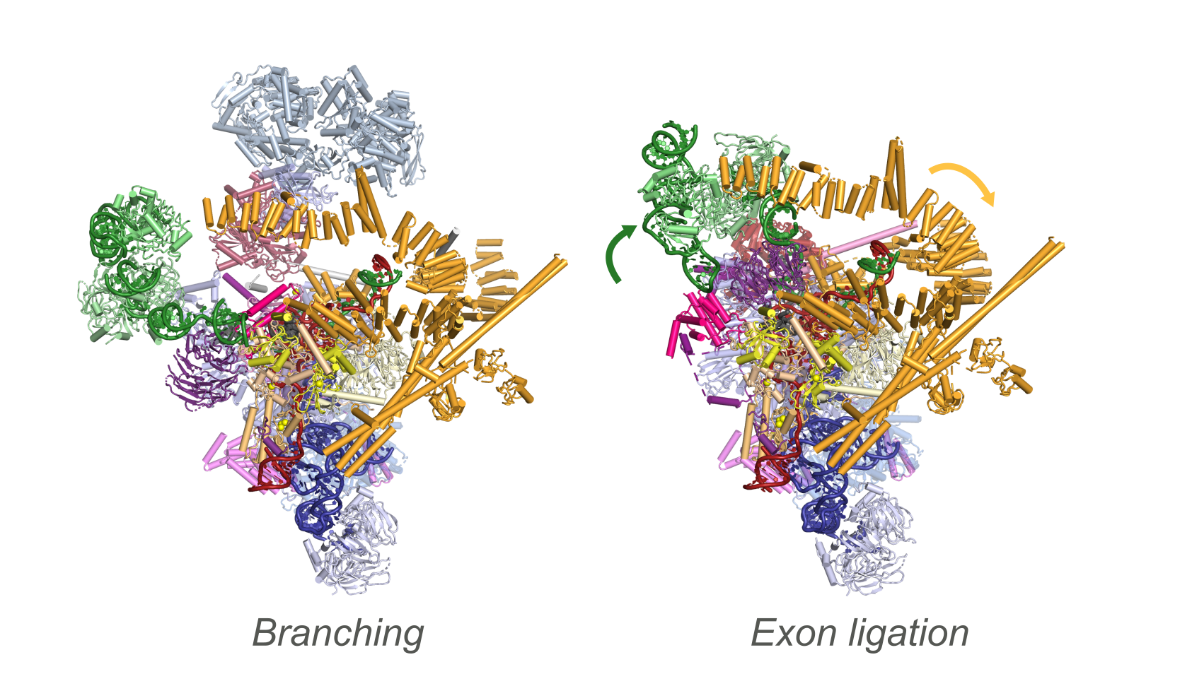 Branching and exon ligation conformations