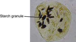 Banana - Experiments on Microscopes 4 Schools