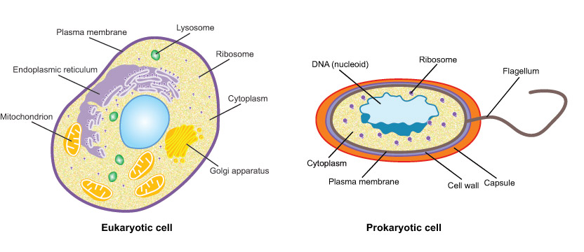 Cells microscopes 4 schools diagram of prokaryotic and eukaryotic cells ccuart Image collections