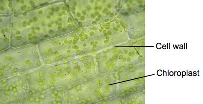 label diagram of elodea cells human skeleton label diagram elodea (pondweed) - experiments on microscopes 4 schools #8