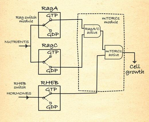 mTOR pathway logic gate