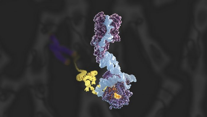 Three-dimensional structure of the human telomerase holoenzyme with bound telomeric DNA, as determined by cryo-EM at 3.4-3.8 Å resolution.