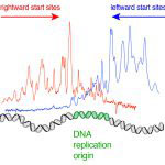 Mapping start sites for DNA replication