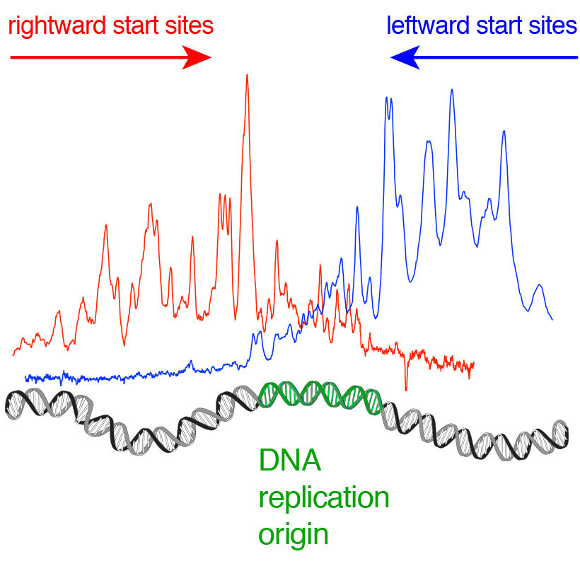 How replication of DNA is initiated at origins