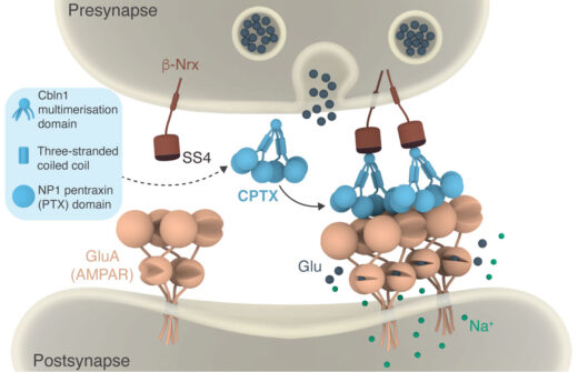Structure-guided design of CPTX, a synthetic synaptic organiser (Suzuki et al, 2020).