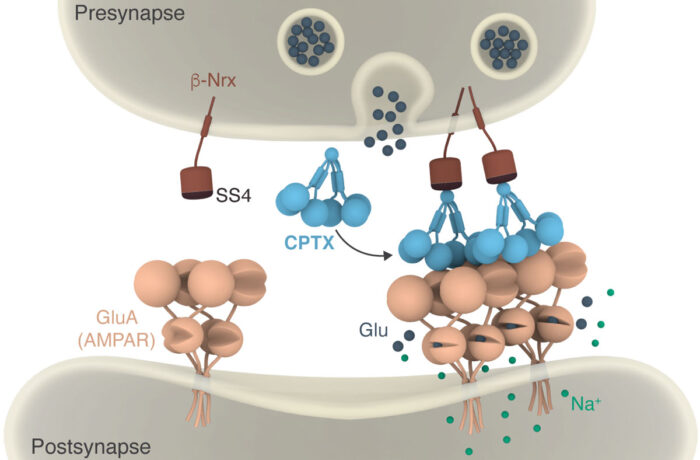 Cartoon illustrating how CPTX works by forming a molecular bridge between pre- and post-synaptic neurons