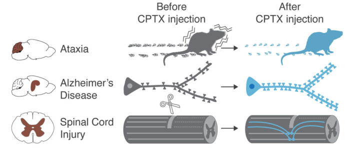 Summary of CPTX impact upon injection in animal models of Ataxia, Alzheimer's Disease and spinal cord injury