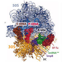 Bacteria Rescue Stalled Ribosomes