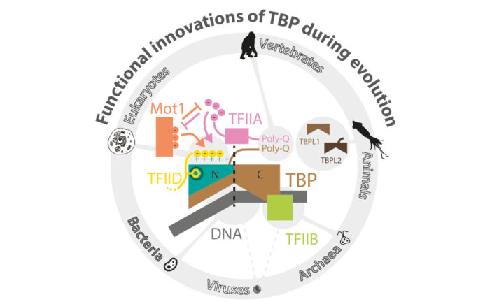 Functional innovations of TBP