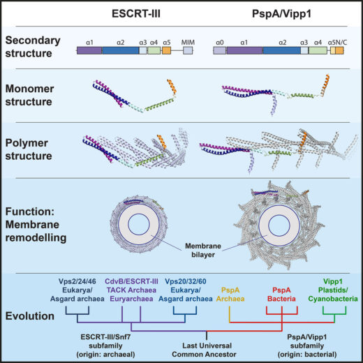Comparison of ESCRT-III and PspA/Vipp1 protein families. Their secondary structure patterns, monomeric and polymeric structures, membrane remodeling functions and a proposed evolutionary path for the entire superfamily are shown.