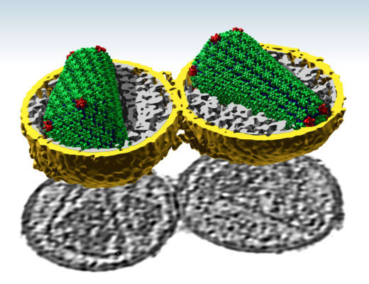 Structure of the HIV-1 capsid core determined inside the virus by cryo-electron tomography (Mattei et al., Science, 2016).