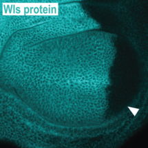 Use of tRNA-gRNA arrays to disrupt production of a protein in a specific tissue