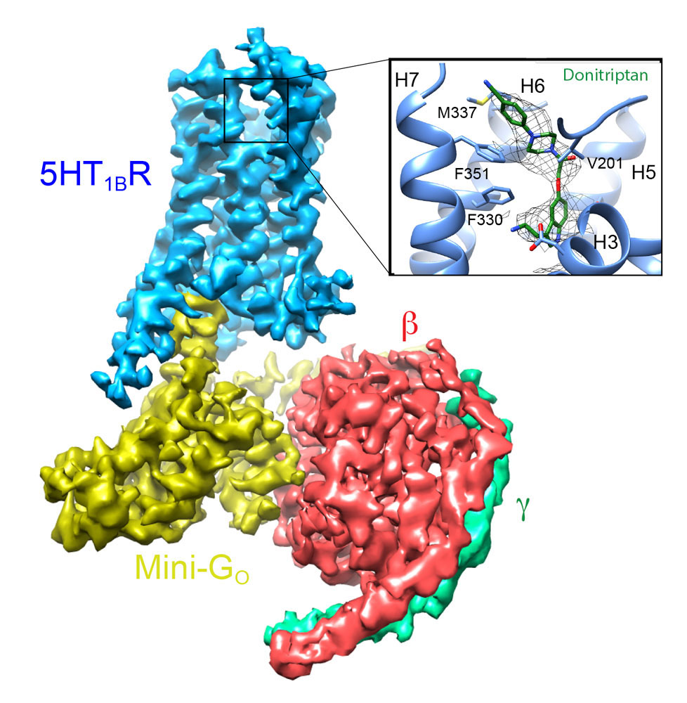 Cryo-EM structure of the serotonin 5HT<sub>1B</sub> receptor coupled to heterotrimeric G<sub>o</sub>.