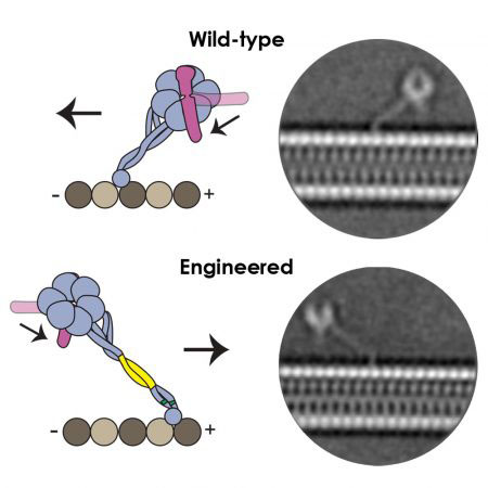 "Two modifications were introduced to an ""engineered dynein molecule predicted to change its angle and orientation on the microtubule, making it walk in the reverse direction. Cryo-EM analysis showed the new conformation the engineered dynein adopts, helping to explain why dynein normally walks towards the minus-end of the microtubule."