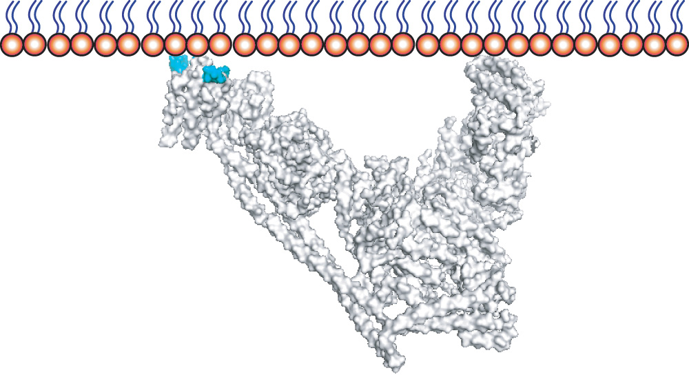 : A model of a VPS34-containing complex attached to a membrane, with regions responsible for membrane association highlighted in blue