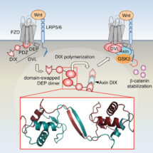 Model of Wnt signalosome assembly by domain swapping of Dishevelled (DVL)