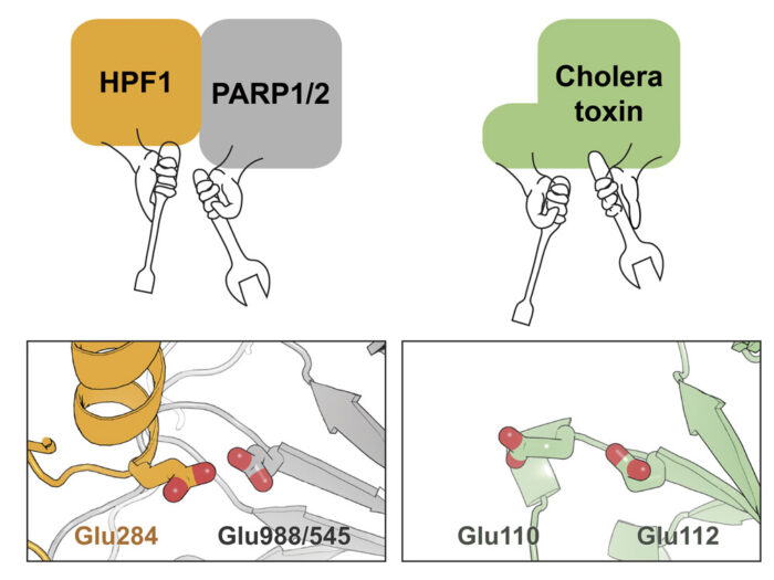 Comparison of the PARP-HPF1 active site with ADP-ribosyl transferase cholera toxin active site