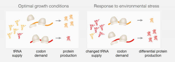 Diagram to show how changes in tRNA abundance affect protein production rates