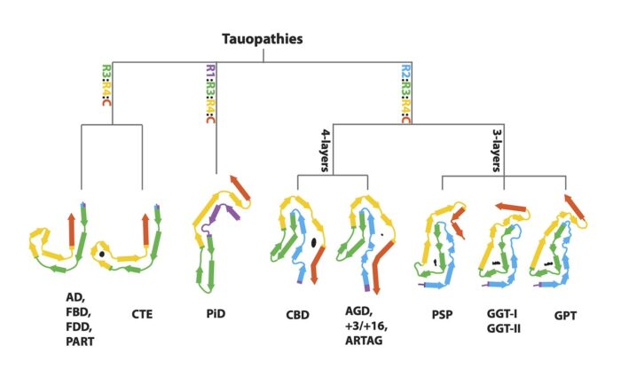 Chart showing the new hierarchical method to characterise tauopathies on the basis of their filament folds