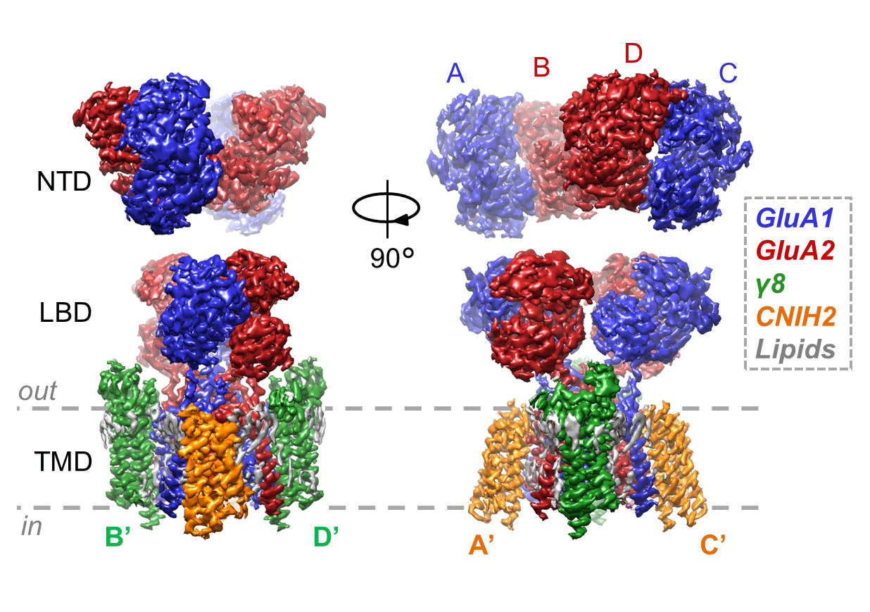 Cryo-EM structure of a GluA1/2 AMPA receptor with the auxiliary subunits TARP- 8 and CNIH2. Lipids can also be seen associating with the receptor in the transmembrane domain (TMD).