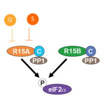 Diagram showing how Guanabenz and Sephin1 selectively bind to R15A's N-terminal, induce a conformational change, impairing recruitment of the substrate, eIF2a, and its dephosphorylation.