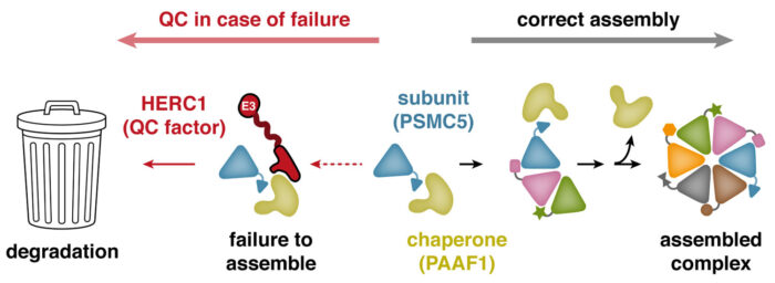 A model showing how PSMC5 that fails to assemble properly is routed for degradation by the ubiquitin ligase HERC1