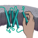 A membrane protein (teal) being assembled. The nascent protein is threaded into the membrane by a protein translocation channel (red). Within the membrane, the protein is helped in its assembly by the PAT complex (depicted as a hand temporarily holding part of the membrane protein).