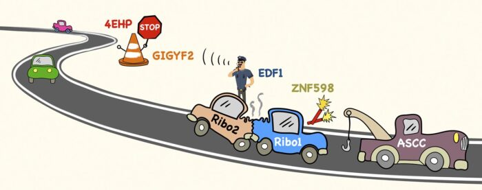 Ribosome collisions along an mRNA 'road' relay a message to stop new ribosomes from entering while a tow truck clears the wreckage.