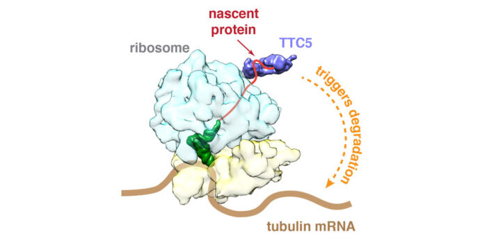 TTC5 uses the emerging protein to find tubulin mRNAs for degradation