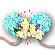 Structure of two collided ribosomes