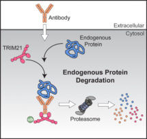 Diagram showing how antibody-bound proteins are targeted for destruction by TRIM21.