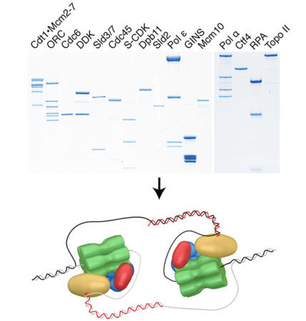 Regulated assembly of a minimal eukaryotic replisome with purified proteins