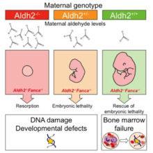 KJ Patel - Foetal Aldehyde Damage