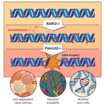 Lack of the two-tier protection system leads to genomic instability and mutations in blood stem cells.