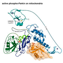 The structure of activated phospho-Parkin bound to phospho-ubiquitin