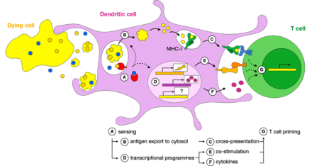 Figure 2. Intracellular events in dendritic cells that follow antigen capture.