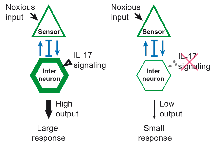 The IL-17 cytokine can alter information flow in neural circuits