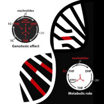 The genotoxic effect and metabolic role of folate and formaldehyde