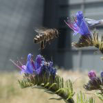Honey bee at flowers outside LMB