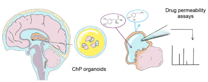 Drawing of choroid plexus (ChP) organoids producing CSF-like fluid protected from the outside by a tight barrier that is highly similar to the barrier of the actual human brain. The ability of drugs, such as dopamine and L-dopa (pictured) to cross this barrier can be examined by extracting the fluid and analyzing it for their presence.
