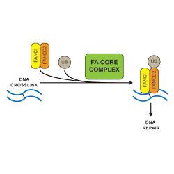 Passmore & Patel - Fanconi Anaemia DNA repair