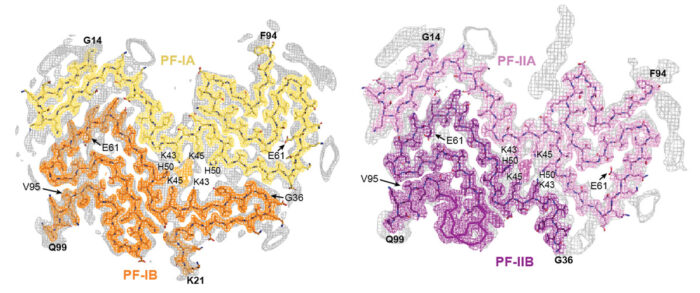 Cryo-EM maps of multiple system atrophy Type I (left) and Type II (right) α-synuclein filaments with overlaid atomic models