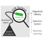 : IDR-Screen helps to identify functional segments in disordered protein regions (dark proteome)