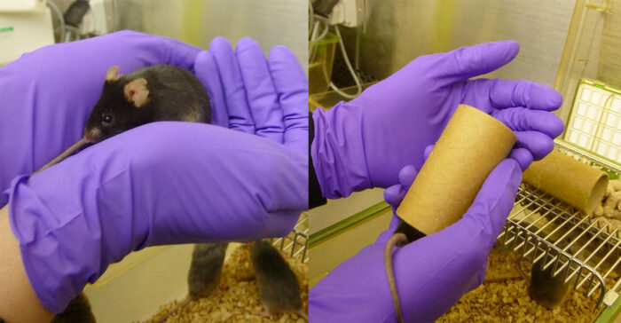 Demonstration of mouse handling using cupping and tunnel handling techniques at the LMB animal facility