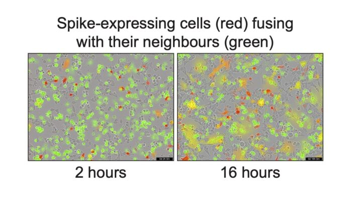Comparison of syncytia formation between Spike expressing cells (red) and uninfected cells (green) at 2 hours and 16 hours.