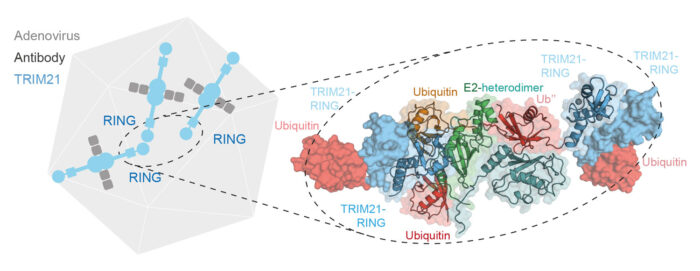 An Adenovirus capsid, bound by TRIM21-antibody complexes. This allows TRIM21 to localize 3 of its RING E3 ligase domains in close proximity, allowing self-ubiquitination. The zoom shows the crystal structure capturing this process.