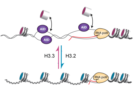 Nucleosomes containing H3.3 more readily allow single stranded DNA formation and AID access to the immunoglobulin variable region.