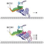 dynein/dynactin/BICDR1 complex