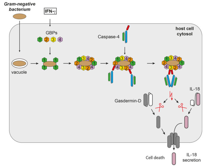 How GBPs transform the foreign bacterial surface into an anti-bacterial signaling platform